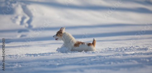 fototapeta na ścianę purebred dog runs and plays in the snow