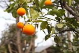冬の木 橙(だいだい)