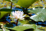 Blossoming Nymphaea nouchali, white star water lily, floating round leaves, flowers of the star lotus rise above the surface of the water in pond