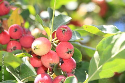 Foto Murales Райские яблочки.