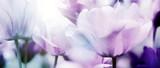 tulpenblüte in hellem licht - 247848463