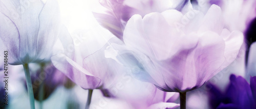 Leinwanddruck Bild tulpenblüte in hellem licht