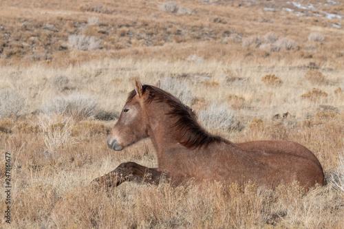 Cute Wild Horse Foal Bedded