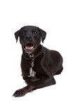 Fototapeta Zwierzęta - black dog © Erik Lam