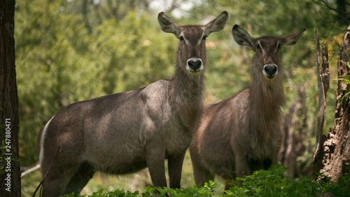 two waterbucks looking attentively, close