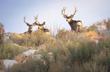 Mule Bucks