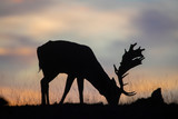 beautiful fallow deer buck