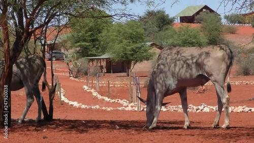 Wild Africa: Two Nyala (Antelope) standing under a tree - namibia