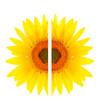 Beautiful sunflower split into two halves
