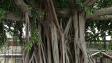 Banyan tree in downtown Noumea, New Caledonia - 247927491