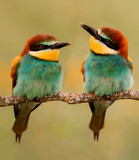 Couple of bee-eaters on a branch