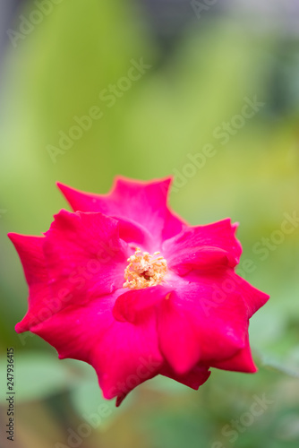 Beautiful red rose over green blurred background,close up