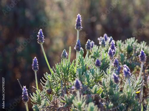Lavender shrubs