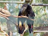 Black parrot couple