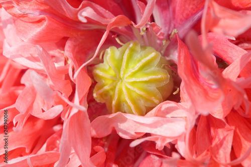 poppy fruit in the petals - 247940046