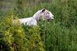 Tigre Blanc dans la prairie