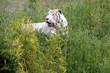 Tigre blanc feulant