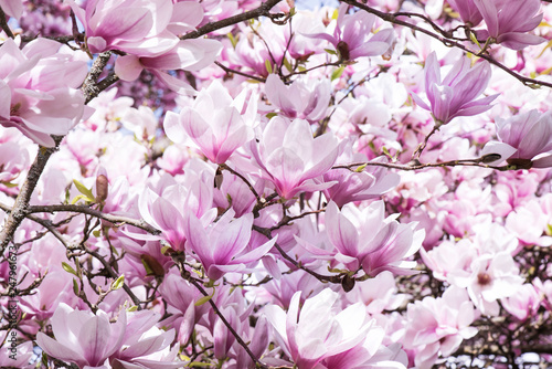 Pink large flowers of magnolia.