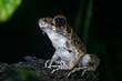 Tree Frog in Borneo / Malaysia