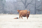 Angus cattle in winter pasture