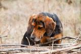 Hound dog in a forest