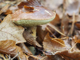 Boletus under fallen leaves
