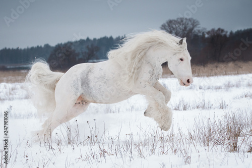 Beautiful white gypsy horse with the long mane flutters on wind running on the snow-covered field in the winter