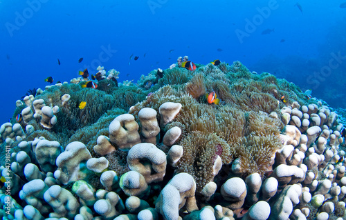 Healthy coral with fish life