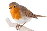 European robin (Erithacus rubecula) on a branch