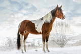 American Paint Horse in sunny day in winter. Czech Republic