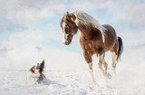 American Paint Horse with dog in sunny day in winter. Czech Republic