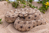 Sidewinder rattlesnake with tongue - 248004612