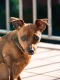 Cute portrait of mini dog pinscher. - 248013278