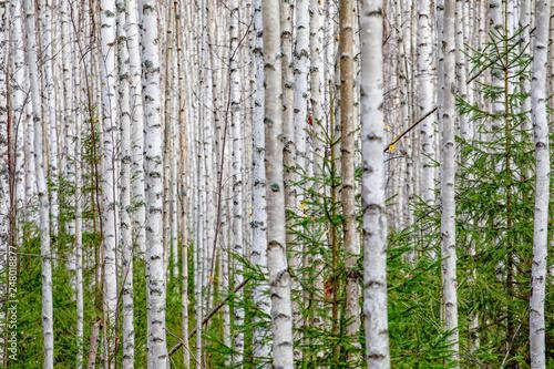 Birch forest. White tree trunks in autumn