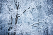 Branches of big trees under the snow - 248020023
