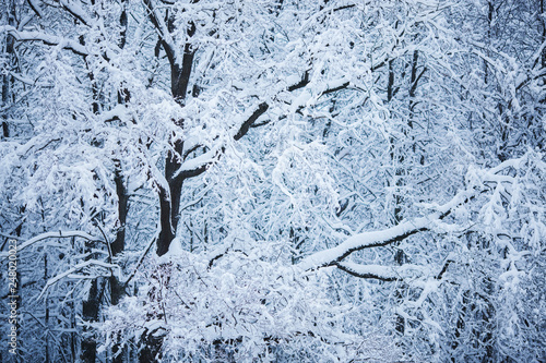 Branches of big trees under the snow
