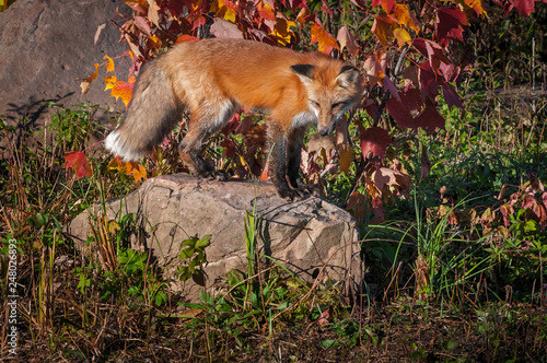 Red Fox (Vulpes vulpes) Stands on Rock Looking Down Autumn