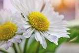 spring marguerite or Wild daisy - 248031631