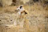 The Southern lion (Panthera leo melanochaita) also referred to as the East-Southern African lion or Eastern-Southern African lion or Panthera leo kruegeri. Young male lion  yawns.