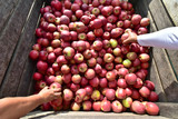apple harvest - crates of fresh apples for transport and sale