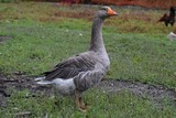 goose on green grass - 248037845