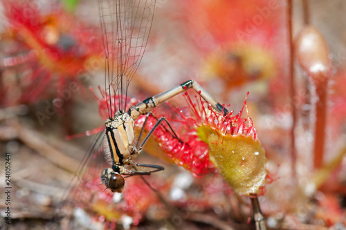 Foto Murales Damselfly caught by Round-leaved sundew, a carnivorous, plant