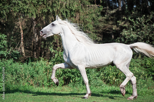 running white beautiful  Orlov trotter stallion in paddock.