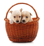 Two puppys in a basket.
