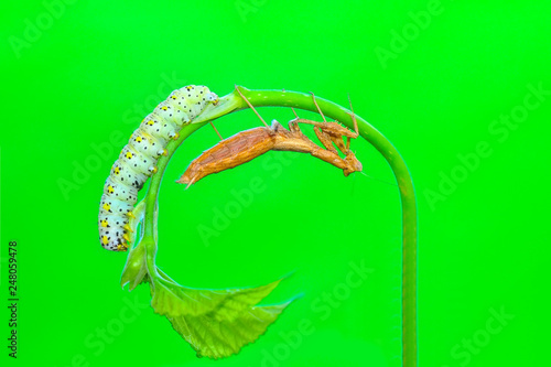 Beautiful   Сaterpillar of swallowtail - Stock Image - 248059478