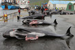 Killed black dolphins on the wet pavement of the pier,Runavik,Faroe Islands