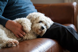 Adorable dog which is a mix between shih tzu and bichon frise