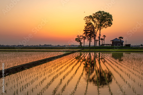 Rice field at sunset with a house and some trees in the background near Tokyo in Japan.