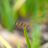 Yellow and Black Dragonfly - 248072442