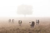 Cows greet a camera in morning fog